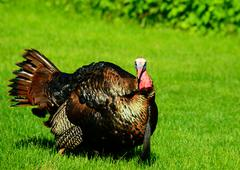 wild turkey - stock photo