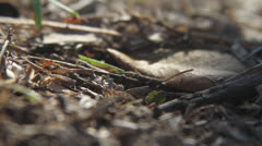 LEAF-CUTTER ANTS 04 1080 Stock Footage