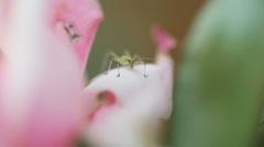 Young katydid on rose petal Stock Footage