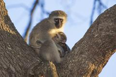 Velvet Monkey Mother Sitting in Tree with her Newborn - stock photo