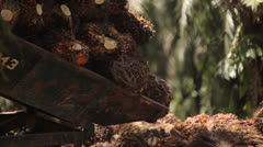 Unloading bunch of palm oil seeds Stock Footage