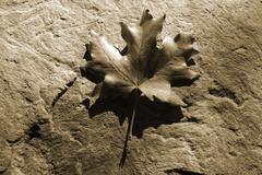 Maple Leaf on a Stone - in sepia Stock Photos