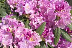 Pink rhododendron Stock Photos