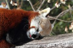 Red panda (ailurus fulgens) Stock Photos