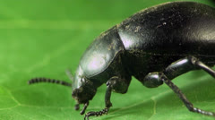 Beetle macro bug Stock Footage