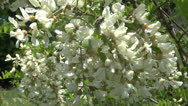 Stock Video Footage of Blossoming branch of an acacia