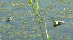 Frog sitting in the water and croaking Stock Footage
