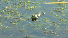 Frog sitting in the water and croaking - stock footage