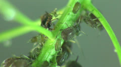 Aphids macro - stock footage