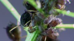 Aphids macro Stock Footage