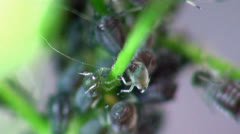 Stock Video Footage of Aphids macro