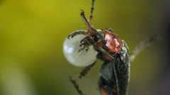 Cantharis macro bug Stock Footage