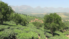 India Kerala Western Ghats tea in terraced rows on slope 6 Stock Footage