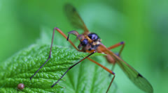 Giant sabre comb-horn cranefly - front view Stock Footage