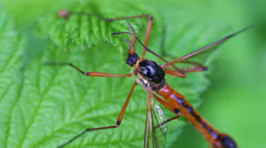 Giant sabre comb-horn cranefly Stock Footage
