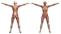 human anatomy - female muscles - stock illustration