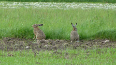 Two wild, european hares are grazing in the meadow 2 Stock Footage