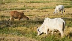 Cow in countryside field Stock Footage