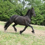 Friesian horse running on pasturage in summer Stock Photos