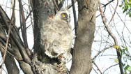 Stock Video Footage of baby bird of Long-eared Owl - Asio otus