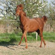 young chestnut horse running in spring - stock photo
