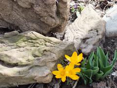 Crocuses and stones - stock photo