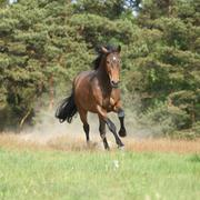 brown horse running and making some dust in front of the forest - stock photo