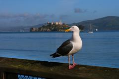 Sea Gull Alcatraz Stock Photos