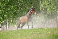 brown horse running in the dust - stock photo