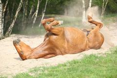 chestnut horse rolling in the sand in hot summer - stock photo