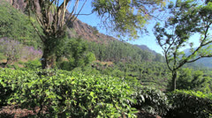 India Kerala Western Ghats tea bush with cliffs behind 4 Stock Footage