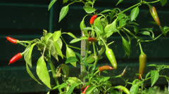 Red Chili Plant Stock Footage