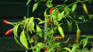 Stock Video Footage of Red Chili Plant