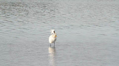 Common spoonbill in the water Stock Footage