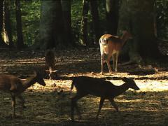 DEERS in the Umbrian Forest Stock Footage