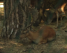 DEER in Umbrian forest reserve Stock Footage