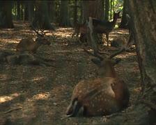 DEERS in Umbrian Forest reserve Stock Footage