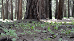 Pine Forest Floor Stock Footage