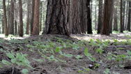 Stock Video Footage of Pine Forest Floor