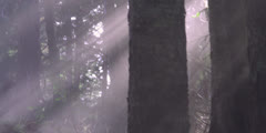 Sun Rays Beaming In-between Trees in the Woods Forest Pines | POV Stock Footage