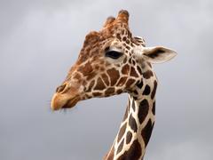 Stock Photo of Giraffe