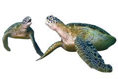 Green sea turtle sitting isolated on white background Stock Photos