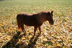 Pony Standing in Autumn / Fall Leaves - stock photo