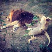 Stock Photo of Lion Spread Eagle
