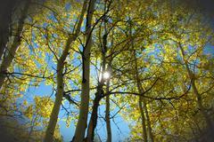Golden Aspen Autumn Sun - stock photo