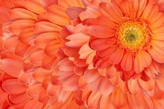 Beautiful daisy gerbera flowers Stock Photos