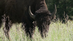 Bison, Buffalo Stock Footage