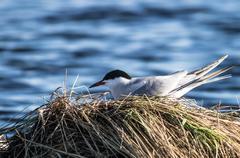coomon tern - stock photo