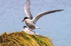 Coomon tern Stock Photos