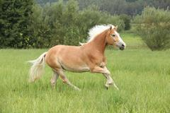 beautiful chestnut horse with blond mane running in freedom - stock photo